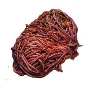 Lumbricus Rubellus